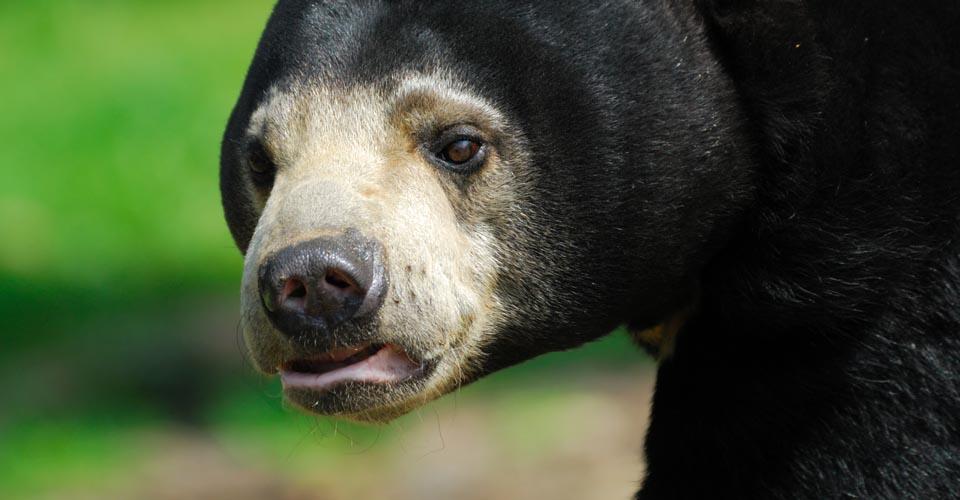 Malayan sun bear, Sandakan, Borneo