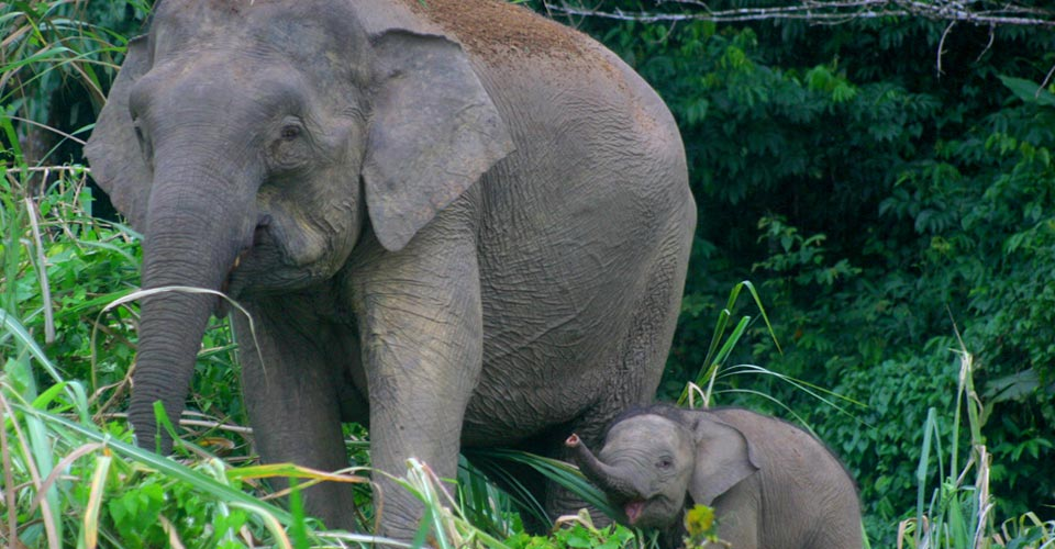 Borneo pygmy elephants, Kinabatangan Wildlife Sanctuary, Borneo