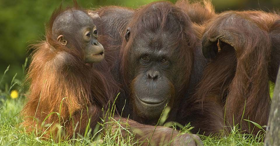 The Wilds of Borneo: Orangutans & Beyond