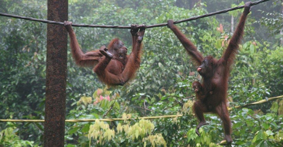 Bornean organgutans, Sepilok Orangutan Sanctuary, Borneo