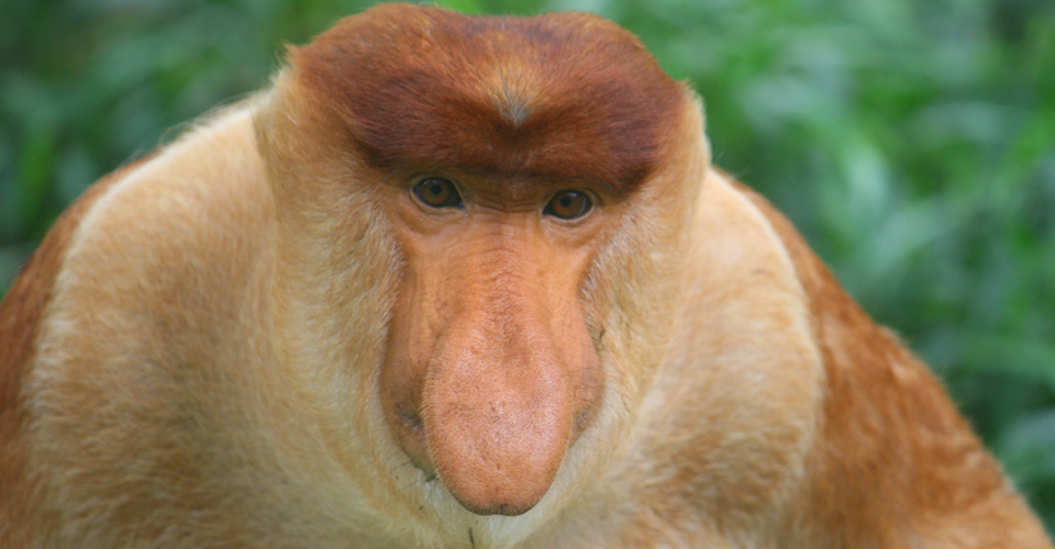 Proboscis monkey, Bako National Park, Borneo
