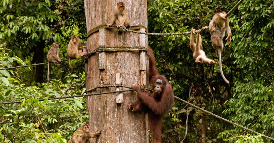 Bornean orangutan and long-tailed macaques, Sepilok Orangutan Sanctuary, Borneo