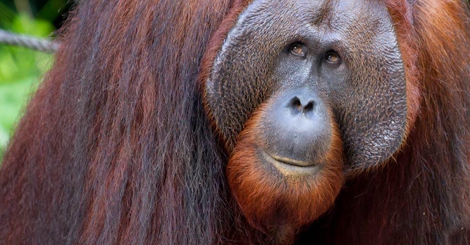 Bornean orangutan, Sepilok Orangutan Sanctuary, Borneo