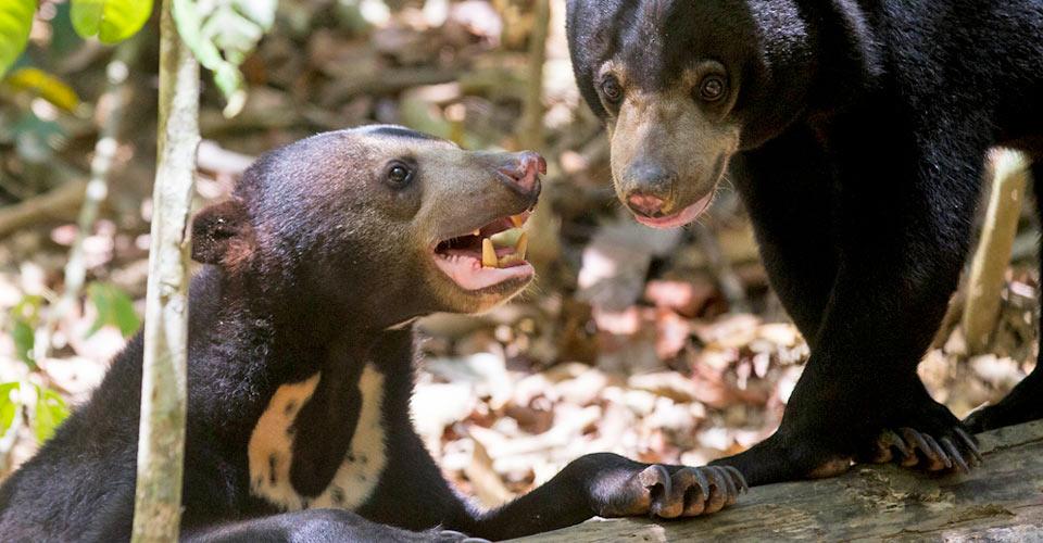 Bornean sun bears, Sun Bear Conservation Centre, Borneo