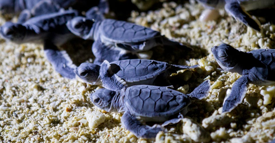 Green sea turtles, Selingan Island, Borneo