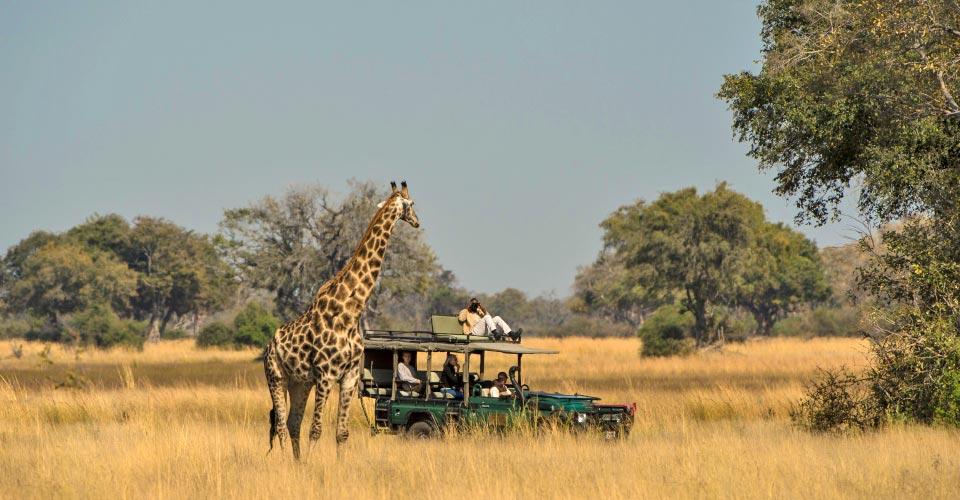 Southern giraffe, Northern Okavango Delta, Botswana