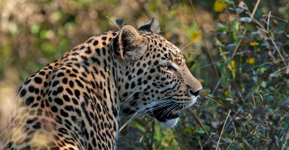 African leopard, Khwai Private Reserve, Botswana