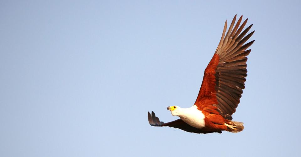 African fish eagle, Okavango Delta, Botswana