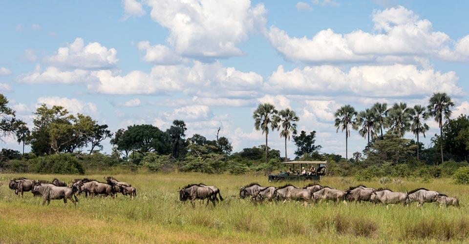 Wildebeest, Okavango Delta, Botswana