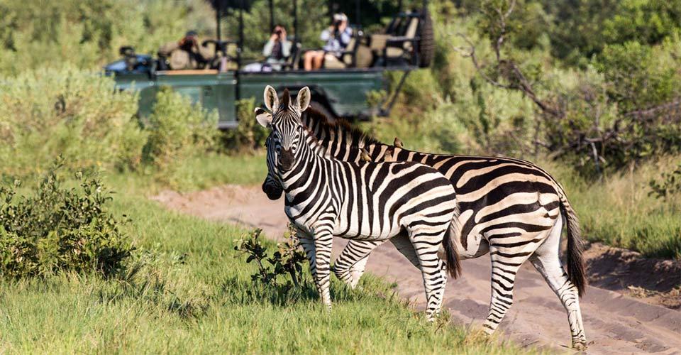 Zebra, Okavango Delta, Botswana