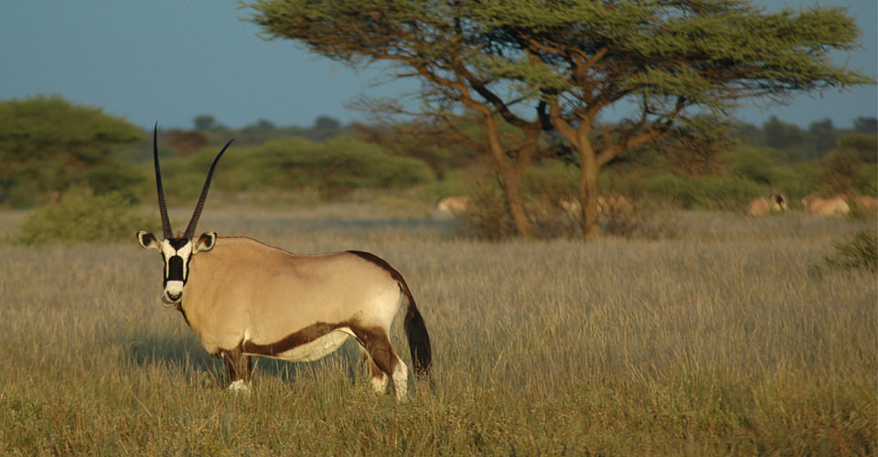 Gemsbok, Central Kalahari Game Reserve, Botswana