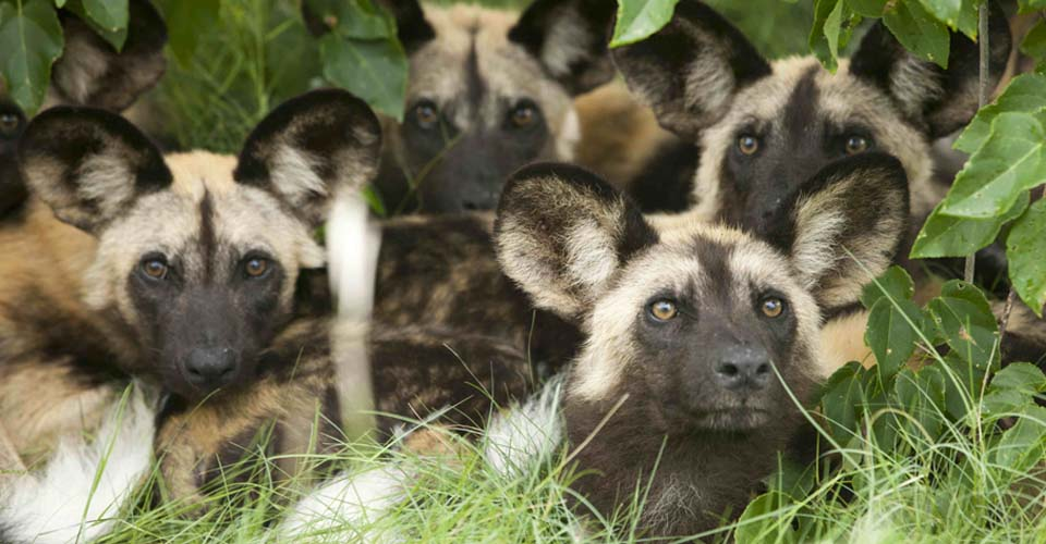 African wild dog, Linyanti Private Reserve, Botswana
