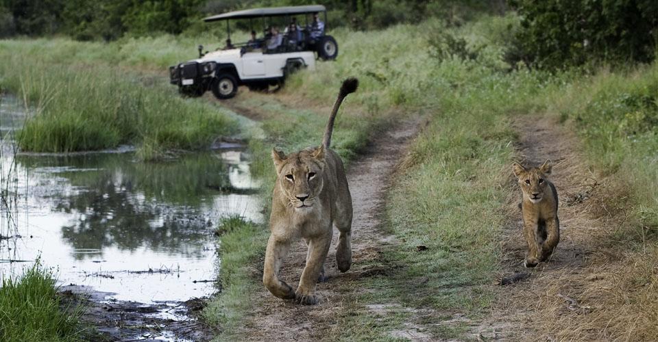 African lion, Santawani Private Concession, Botswana