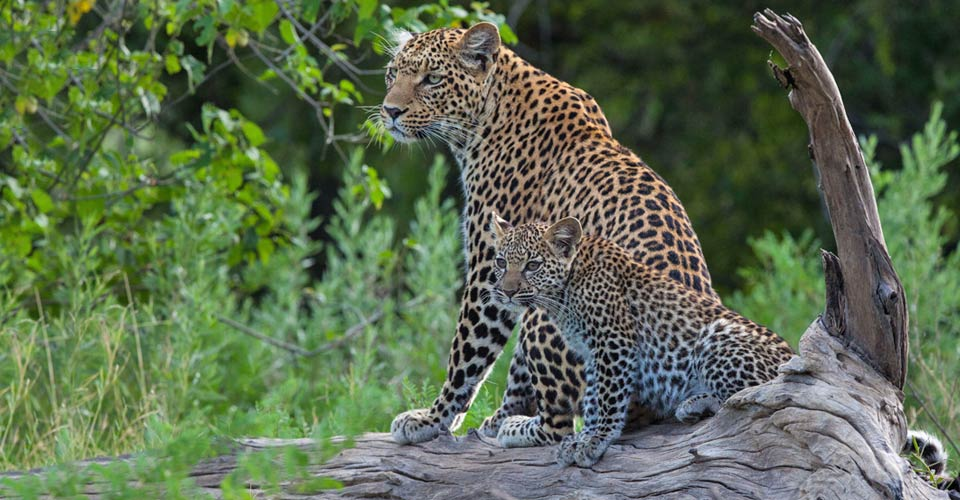 African leopard, Santawani Private Concession, Botswana