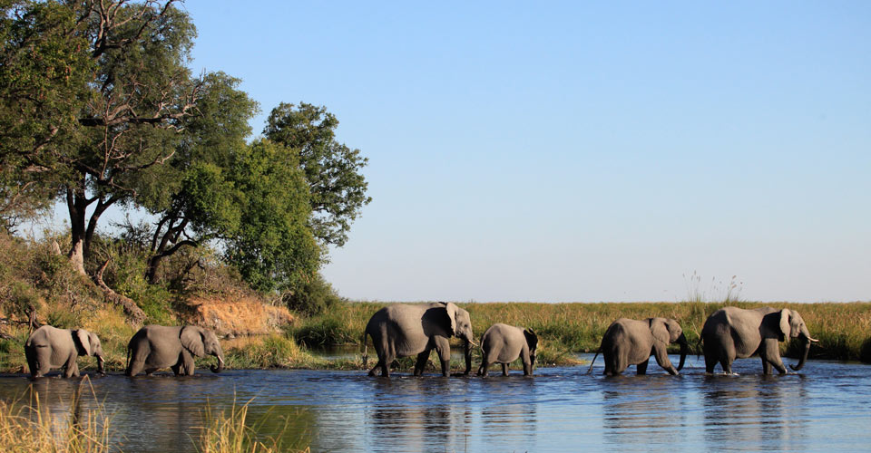 African elephant, Linyanti Private Reserve, Botswana