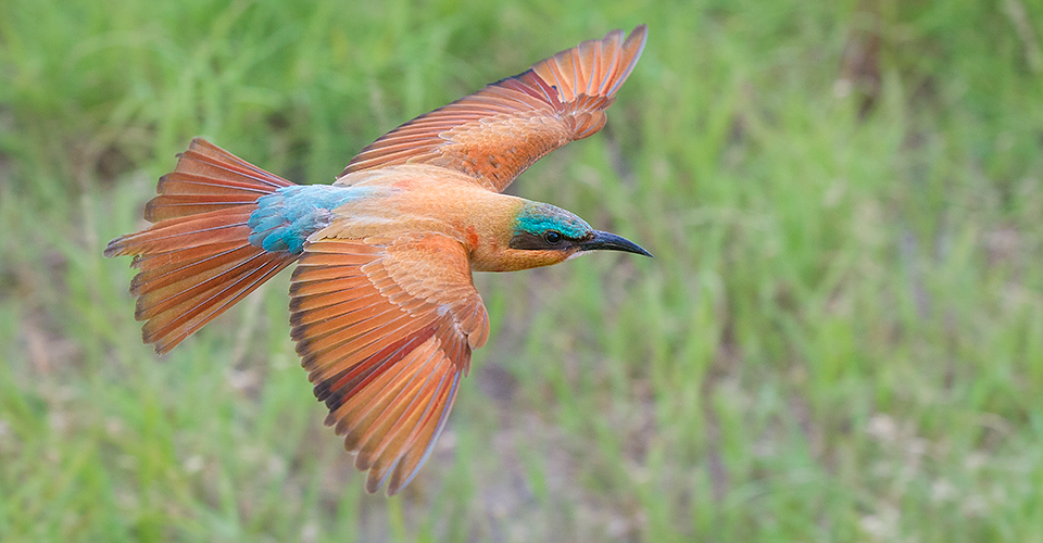 Southern Carmine Bee-eater, Linyanti Private Reserve, Botswana