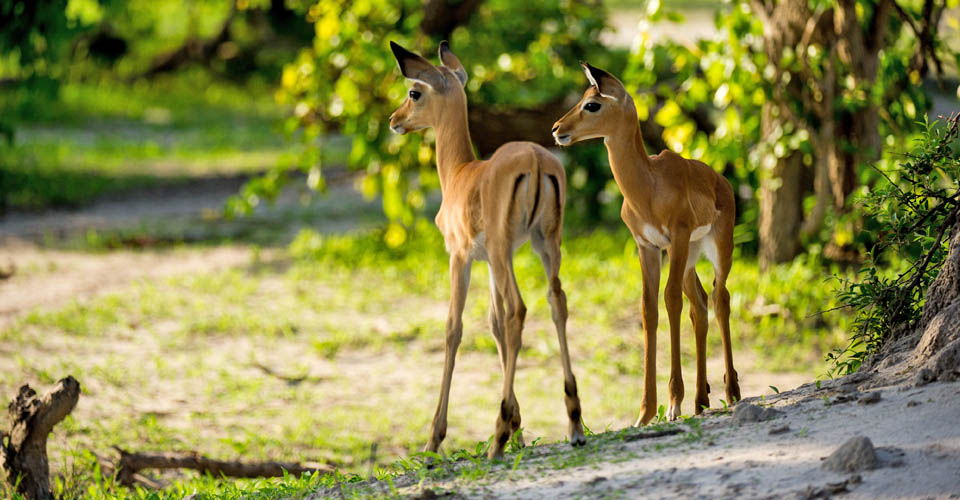 Common impala fawns, Linyanti Private Reserve, Botswana