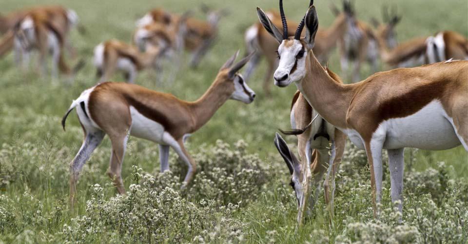 Springbok, Central Kalahari Game Reserve, Botswana