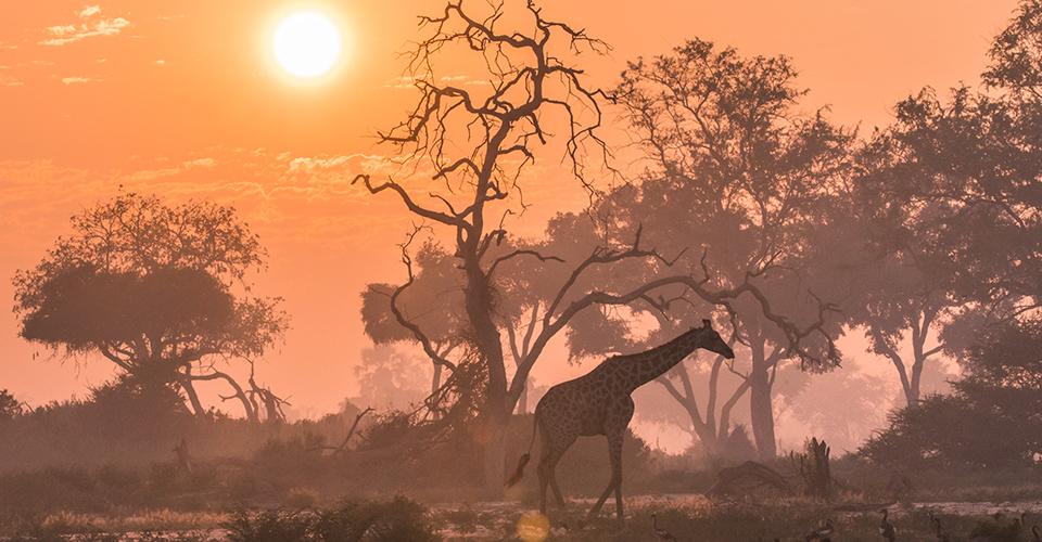 Southern giraffe, Khwai Private Reserve, Botswana