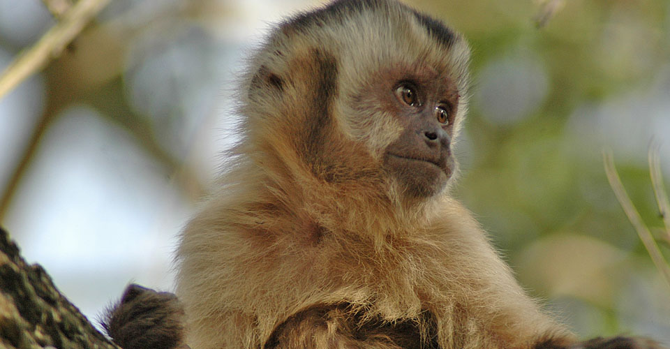 Brown capuchin monkey, Pantanal, Brazil