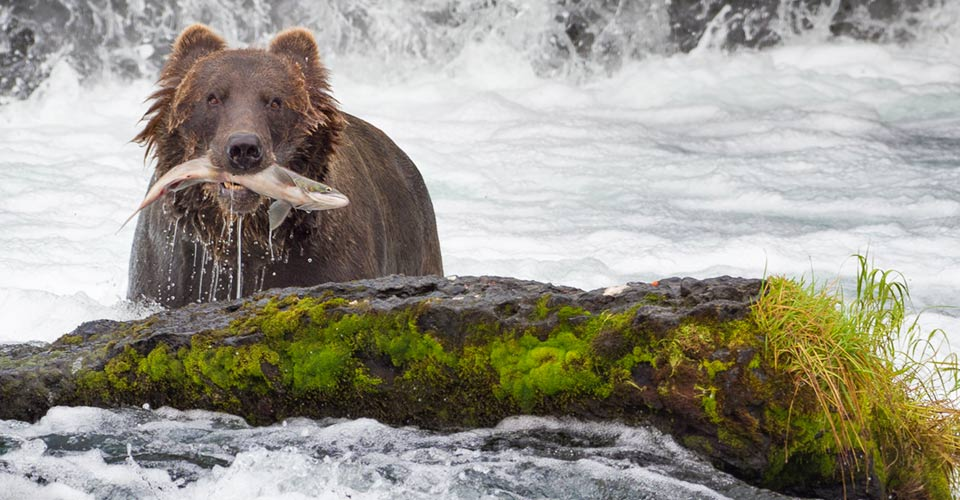 Brown bear with salmon, Katmai National Park, Alaska