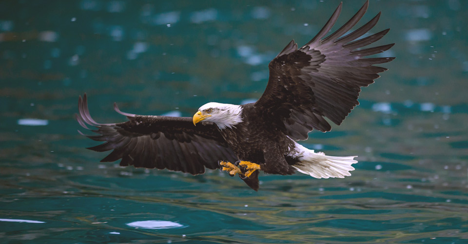 Bald eagle, King Salmon, Alaska