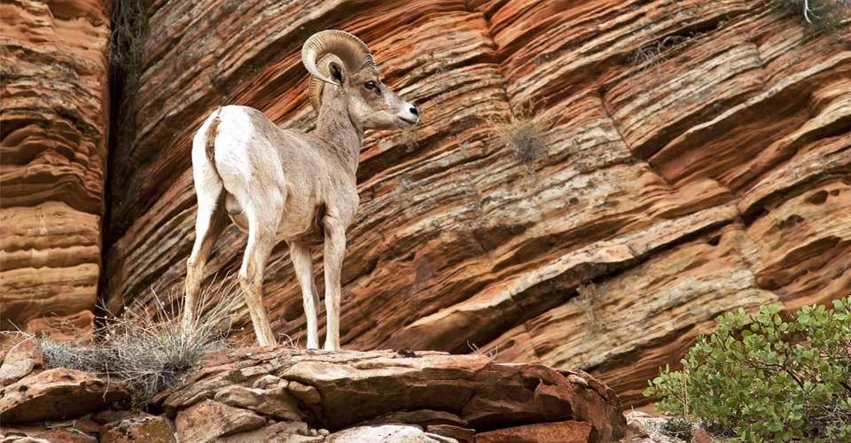 Desert bighorn sheep, Zion National Park, Utah, United States