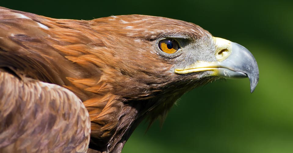 Golden Eagle, Grand Canyon National Park, Arizona, USA