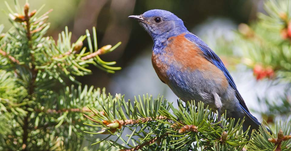 Western Bluebird, Bryce Canyon National Park, Utah, USA