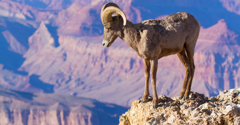 Bighorn sheep, Grand Canyon National Park, Arizona, USA