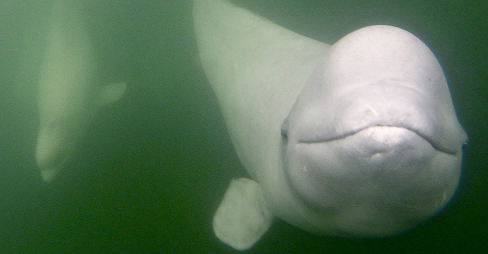 Belugas, Bears & Summer Wildlife of Churchill