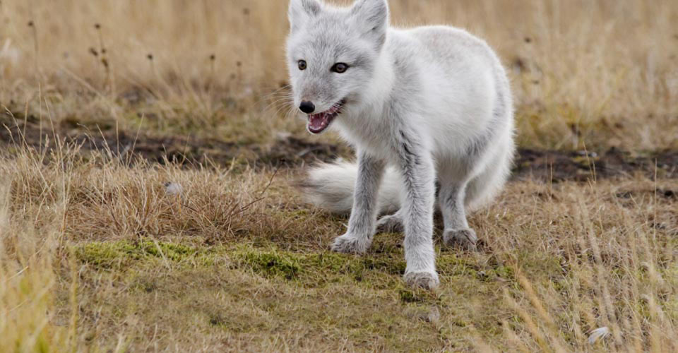 Image result for arctic fox churchill