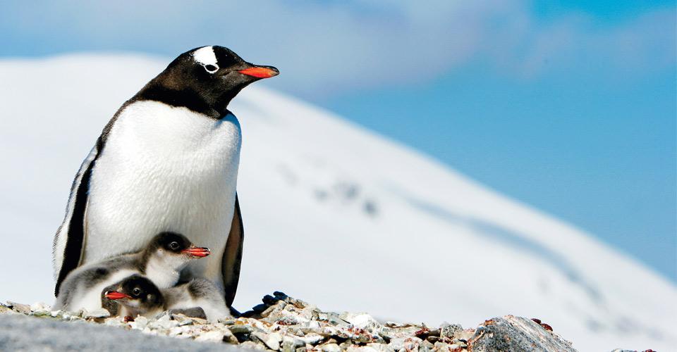 Gentoo penguins, Pleneau Island, Antarctica