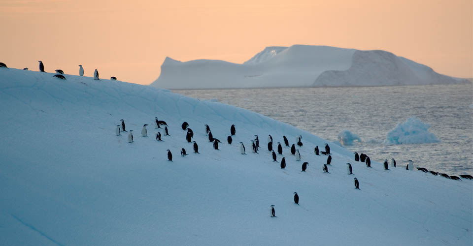 Chinstrap penguins, Antarctic Peninsula, Antarctica