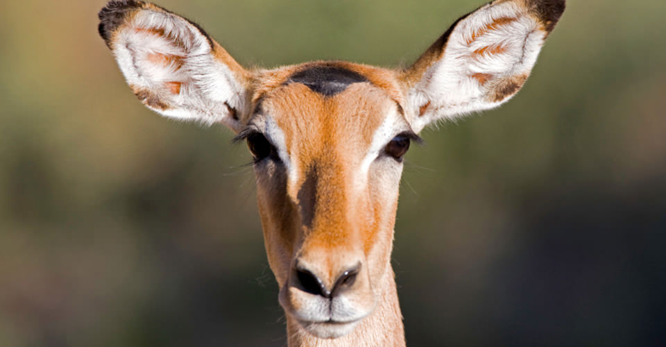 Common impala, Okavango Delta, Botswana