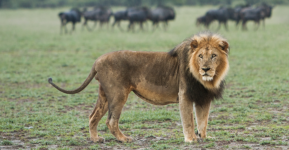 Southwest African lion, Central Kalahari Game Reserve, Botswana