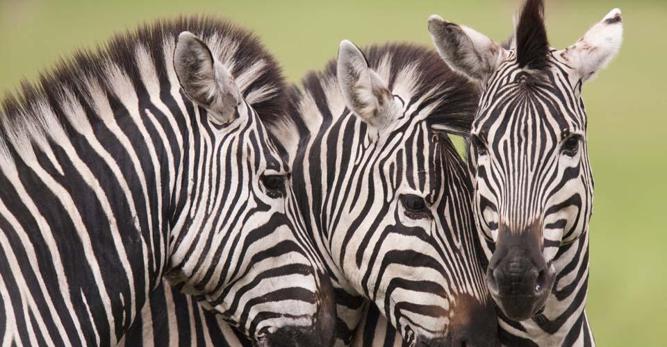 Burchell's zebra, Okavango Delta, Botswana