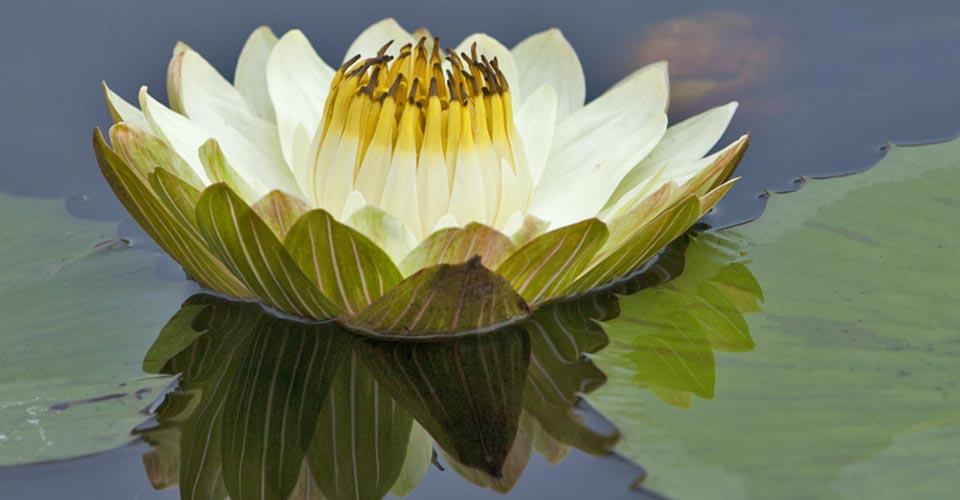 Water lily, Okavango Delta, Botswana