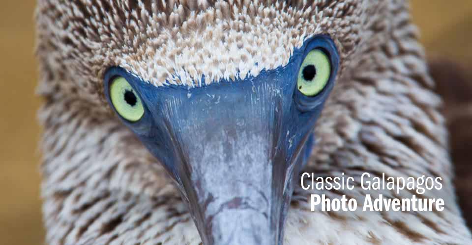 Blue-footed booby, Santa Cruz, Galapagos Islands, Ecuador