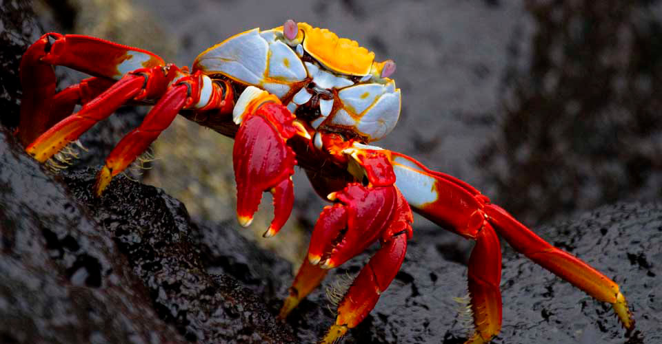Sally lightfoot crab, San Cristobal, Galapagos Islands, Ecuador