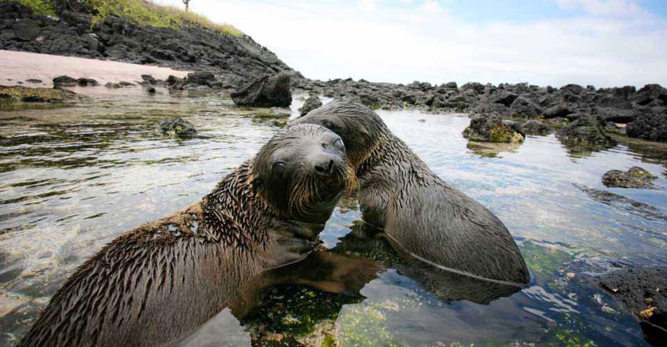 Galapagos sea lions, Fernandina, Galapagos Islands, Ecuador