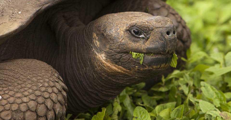 Galapagos tortoise, Isabela, Galapagos Islands, Ecuador