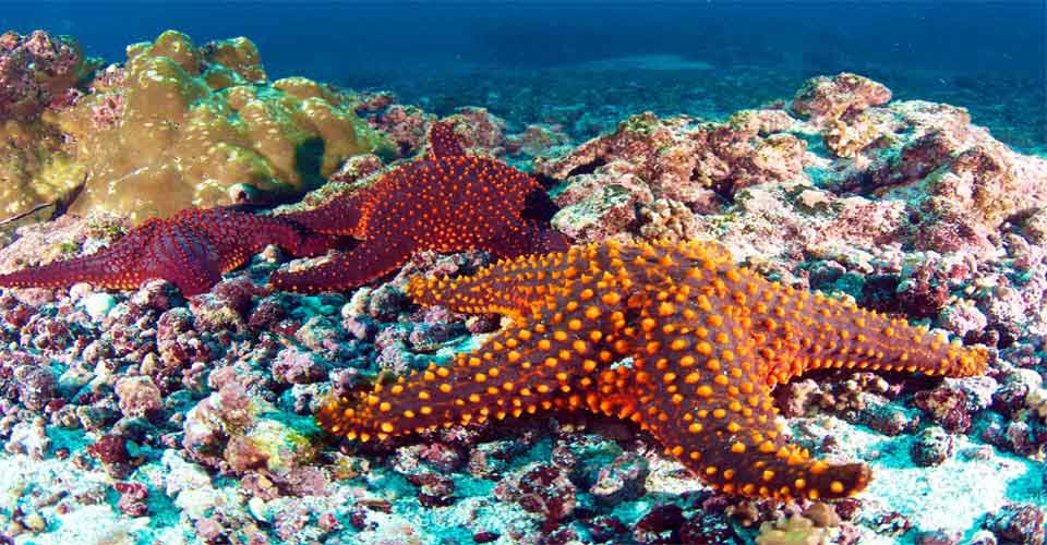 Panamic cushion sea star, Bartolome, Galapagos Islands, Ecuador