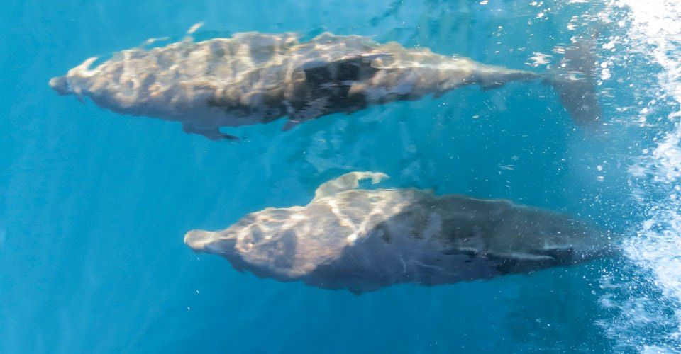 A view from a boat of two bottle-nosed dolphins swimming underwater, Galapagos Islands, Ecuador