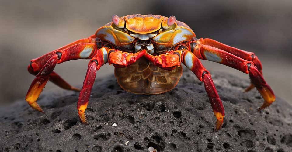 A close-up of a Sally lightfoot crab on Fernandina Island, Galapagos Islands, Ecuador