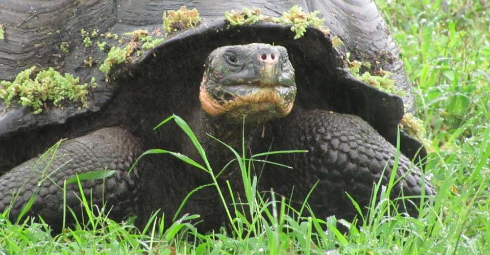 Giant Galapagos tortoise, Santa Cruz, Galapagos Islands, Ecuador