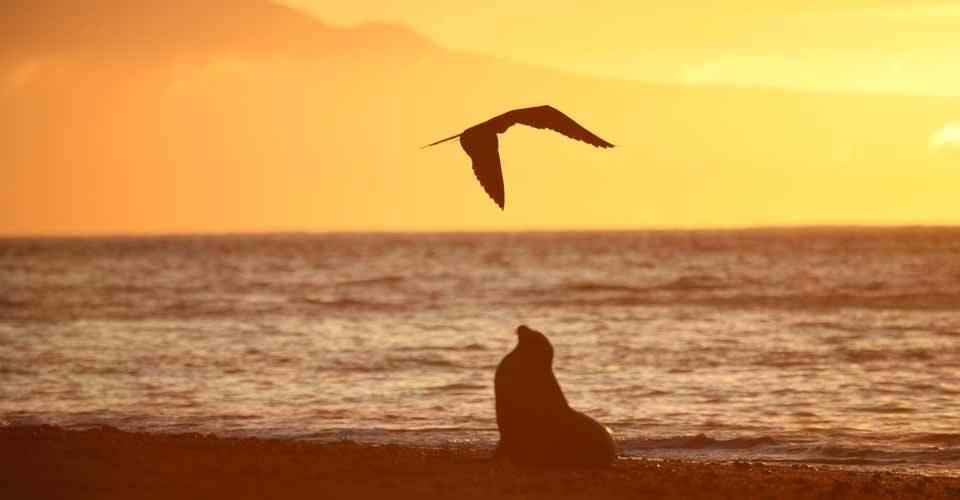 The silhouette of a Galapagos sea lion and frigatebird on the beach at sunset, Rabida, Galapagos Islands, Ecuador