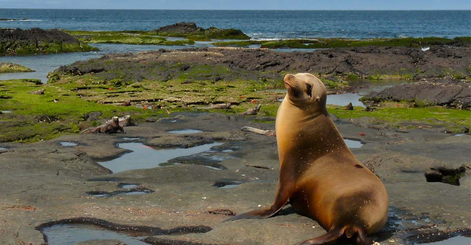 Galapagos sea lion and marine iguanas, Santiago, Galapagos Islands