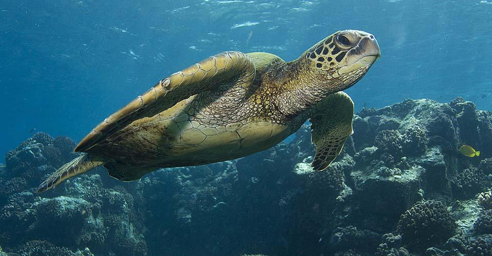 Galapagos green turtle, Galapagos Islands, Ecuador