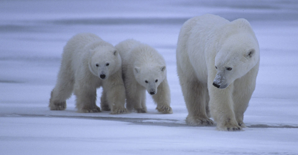 Polar bear mother and cubs, Churchill, Manitoba, Canada